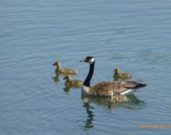 Mother with baby geese
