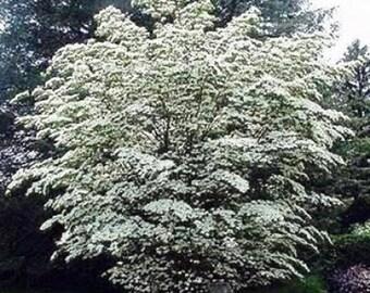100 Chinese Dogwood Tree Seeds, Cornus Kousa Chinensis