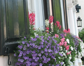 Spring Flowers in Charleston, window box and shutters
