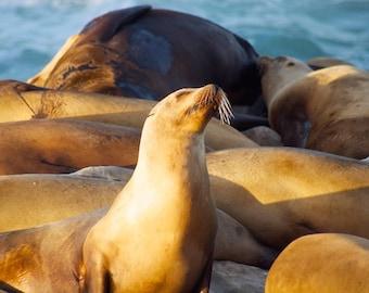Sun Bathing Sea Lion in La Jolla Cove California Fine Art Photography CA