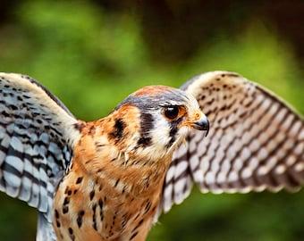 American Kestrel, Falcon Print, Raptor Photography, Bird of Prey, Bird Photo, Raptor Decor