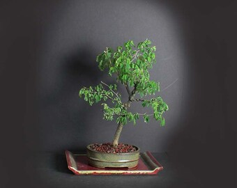 Brazilian raintree bonsai tree, Exotic flora collection from LiveBonsaiTree