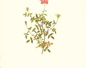 Redoute Botanical Rose Print  37