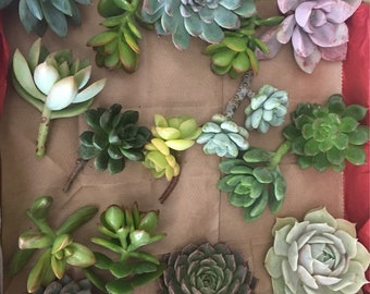 25 rosettes, Succulent Cuttings