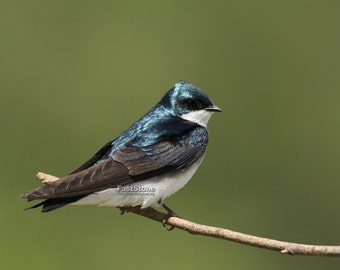 tree swallow, photo, print, art, bird, birds, best, home decor, wall art, photography, wildlife, metal