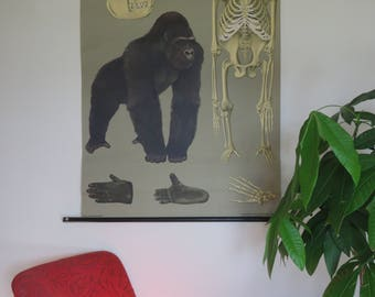 Vintage German school chart of GORILLA by Jung Koch Quentell. GREAT APE anatomical chart