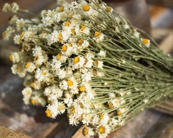 Dried Flowers, Ammobium, Dried Daisy Flower, Natural Dried Flowers, Mason Jar Flowers, Dried Flower Bundle, Wedding Dried Flower, Daisy