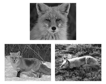 Red Fox Photo Set, Fox Photography, Animal Photograph Fox Wall Art, Set of 3 Photographs, 20% off Individual Prices, Black and White Fox Art