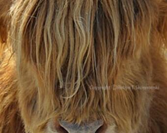 Gotta Comb - Scottish Highland Bull - 4x6 Fine Art Photograph