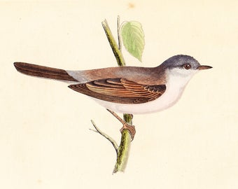 Antique Whitethroat Print . original old vintage bird plate woodblock . vol III, dated 1853 art specimen illustration