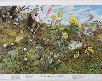 Flower meadow educational chart, wall chart, published by Offsetdruckerei Friecke&Co, 1925