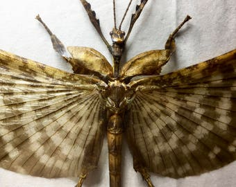 Extatosoma Tiaratum Stick Insect Taxidermy - dried unmounted couple - entomology specimen collection - weird cabinet supply / Spiny Leaf Bug