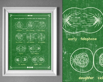 Customizable Mitosis Cell Division Biology Textbook Science Artwork Laboratory Poster Educational Art Retro 8x10 9x12 11x14 16x20 18x24