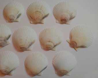 White Scallop Shells - From Crystal River, FLorida - Freshly Caught by me - Shells - Seashells - White Seashells - 10 Natural Shells  #136