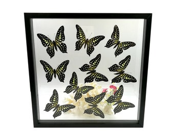 Real Graphium agamemnon Linnaeus Tailed Jay Butterfly Taxidermy Double Glass Frame Mounted Display Framed Butterflies Wall Home Decor Gift