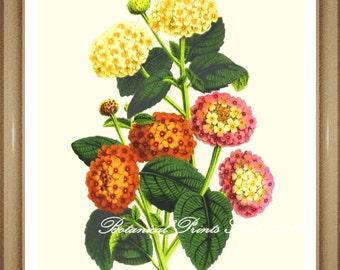 "Botanical Print. Lantana. Flower Print. 5x7"" 8x10"" 11x14"""