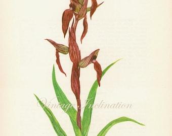 Vintage Botanical Prints 1960s - Serapis Vomeracea flower wall art decor -  lithograph bookplate illustration