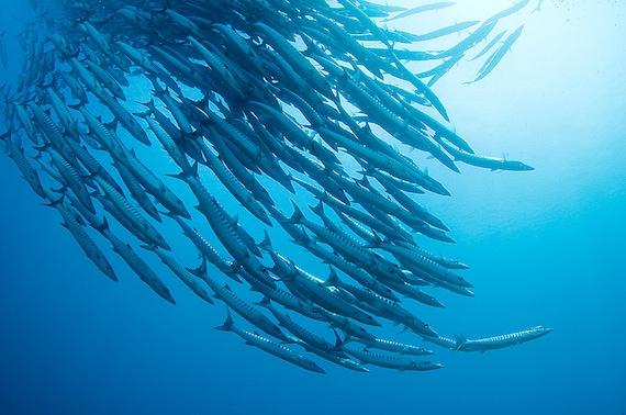 Fish Art Underwater Photography Nautical Home Decor Photo Barracuda School Masculine Decor