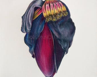 Banana Flower Pencil Drawing