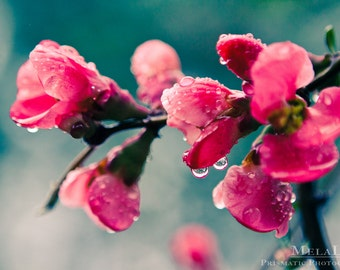 Spring Flowers, April Showers, Pink Buds Popping in Springtime, Raindrops, Water Droplets, Floral Wall Art, Ethereal Nature Photography