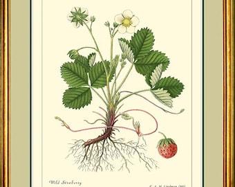 WILD STRAWBERRY - Vintage Botanical print Reproduction - 301