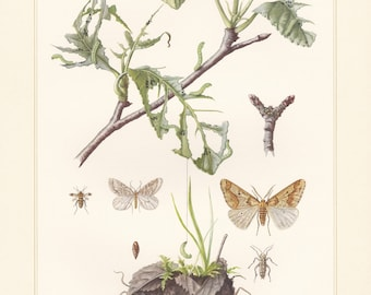 Vintage lithograph of winter moth, mottled umber, geometer moths from 1955