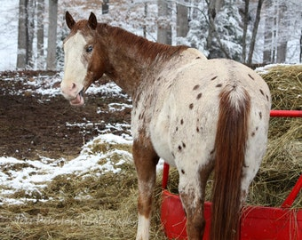 Horse photography, Farm animal photographs, Winter Snow Photography, Brown Tan Red, Rustic Horse Home Decor, nature equine large wall art