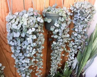 String of Hearts CUTTINGS Ceropegia Woodii  Non Variegated String of Hearts Cuttings