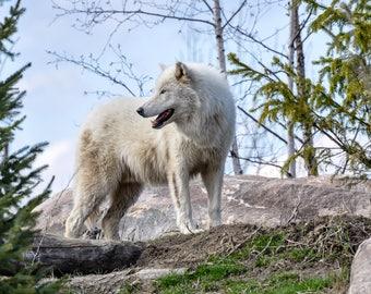 White Wolf Photograph Print