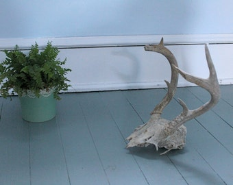 Cabin Fever... Vintage Deer Skull and Antlers Six Point, Taxidermy, Deer Horns