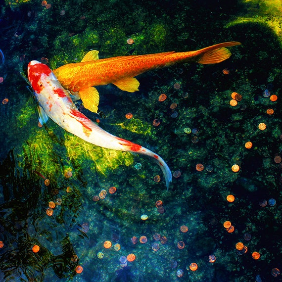 "Metal Art Print ""Lucky in Love"", Koi Photography Printed on a Brushed Aluminum Box, 20x20x1, SPECIAL ORDER ONLY"
