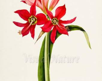 Lily of the Palace Flower Art Print, Botanical Art Print, Flower Wall Art, Flower Print, Red Flower Art Print, Home Decor, Amaryllis