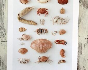"""Naturalist poster CRABS - 13"""" x 19"""""""