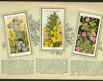 British Vintage Botanical Print - Wildflowers 7  - herbs - Vintage Print - Vintage Flower Print