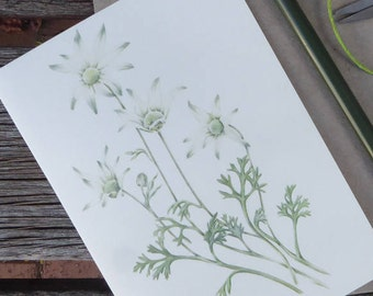 Flannel Flower (Actinotus helianthi)