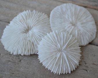 "Mushroom Coral ( 1- 2"") | 1 Piece"