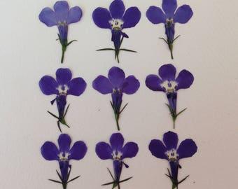 24 Perfect Pressed Flowers - Blue Lobelia - Real Flowers