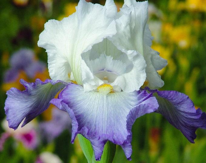 Clarence Reblooming German Iris Bulb Bi-Color Blue and White Iris #1 Bare Root Rhizome Non-GMO Grown Organic - Shipping Now