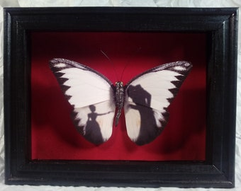 Faux Taxidermy Butterfly  Specimen Shadow Box Horror Series