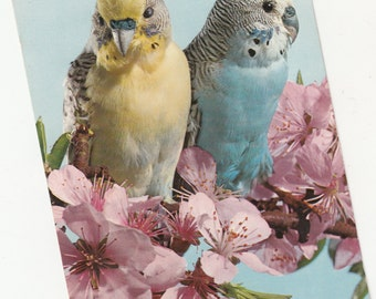 C 1950s Blue And Yellow Breasted Tropical Birds Parakeets,Budgies Postcard