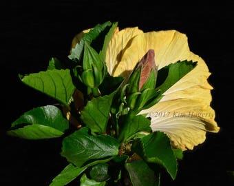 Hibiscus 0129 Yellow