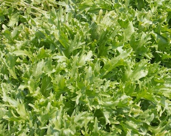 Frisee endive seeds - Curly Endive, Leafy Green Seeds, Frisee Lettuce, Salad Greens, Frisee Seeds, Leaf Vegetable, Green Vegetable Seeds