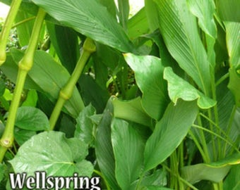 Cardamom - Elleteria cardamomum Live Plant - Culinary cooking ginger