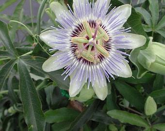 Passiflora Caerulea Blue Passion flower vine - AKA Blue Caerulea Passion Flower