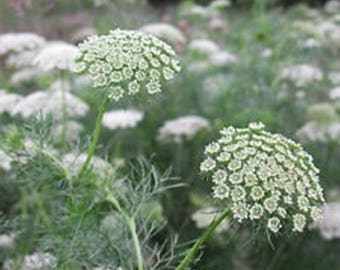 Lace Flower Green Mist * Butterfly Host!! 50 Seeds ... seeds galore