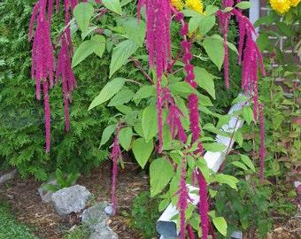 Love Lies Bleeding (select 750 thru 48,000 seeds) amaranth caudatus #86