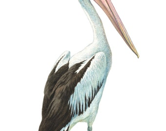 Australian Pelican, bird painting, limited edition print