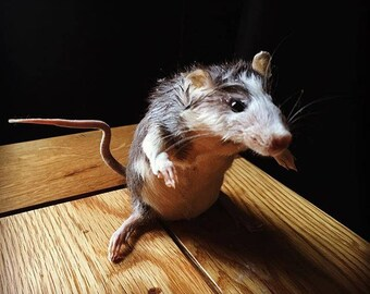 Custom Rat | Taxidermy| Made To Order