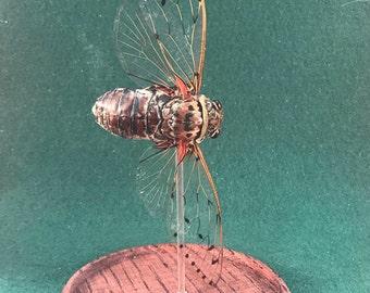 Entomology/Taxidermy Cicada Locust specimen Glass Display Dome-bug insect