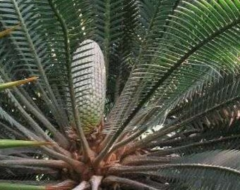 Dioon edule Chestnut Dioon Palm 5 seeds